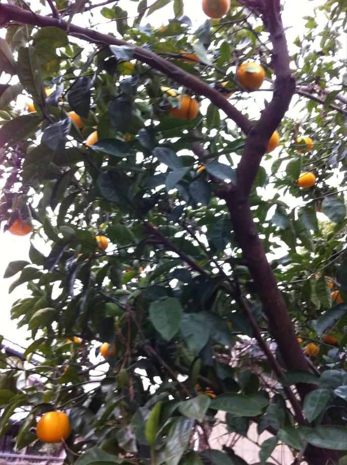 IMG_1464柑橘