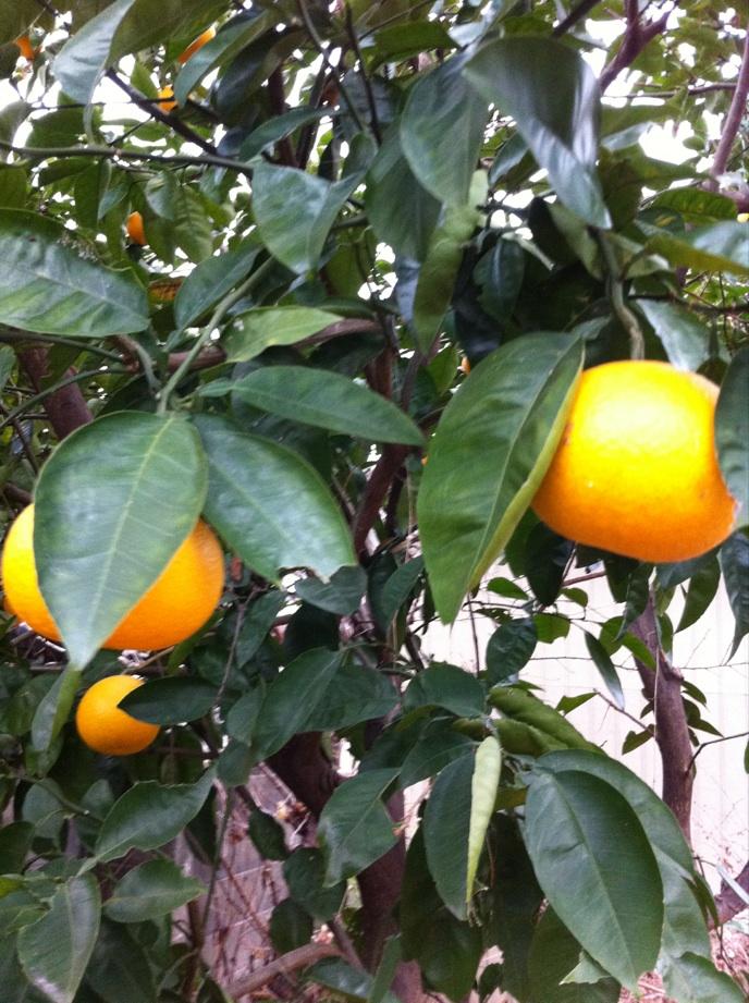 IMG_9769柑橘