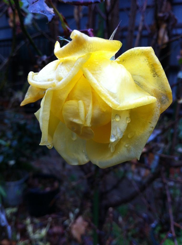 IMG_0589薔薇