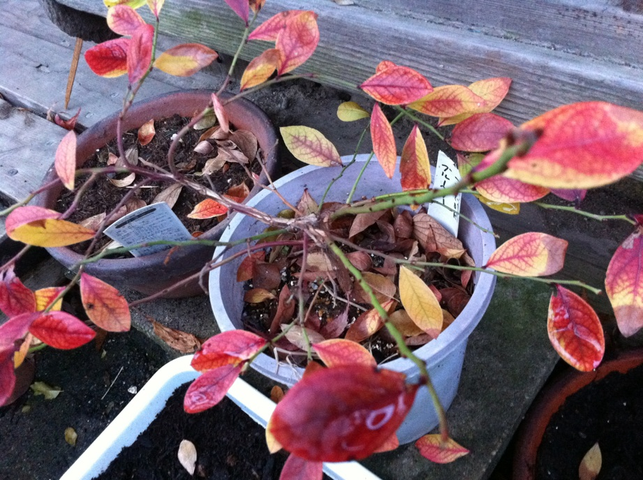 IMG_2129ブルーベリーの葉
