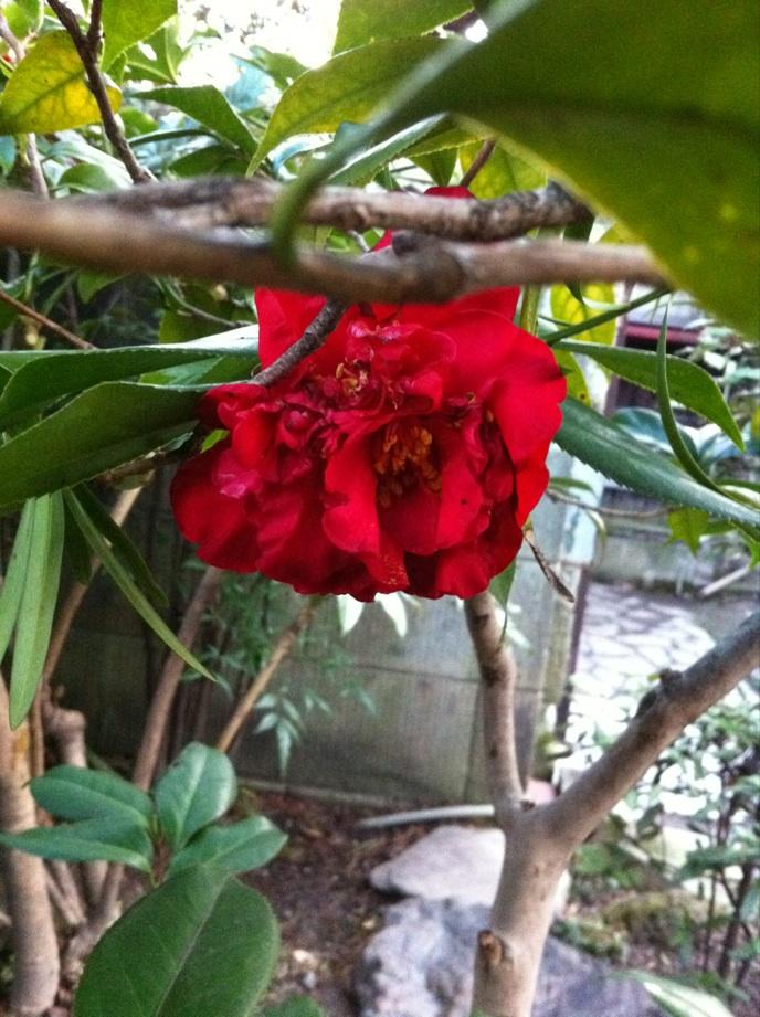 IMG_2956紅い椿