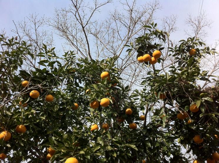 IMG_0189柑橘