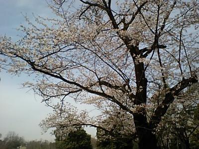 20110407多摩湖桜.JPG