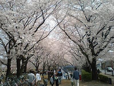 20110410川越桜.JPG