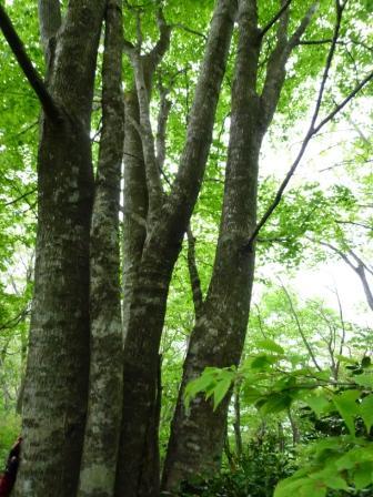 065ブナの大木