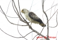 カンムリワシ(幼鳥) 20131124 1