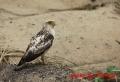 カンムリワシ幼鳥 20131125