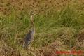 ムラサキサギ 20131126 1