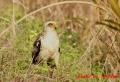 カンムリワシ幼鳥 20131126② 1