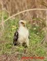 カンムリワシ幼鳥 20131126 1