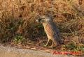 ゴイサギ幼鳥 20131202 1