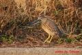 ゴイサギ幼鳥 20131202② 1