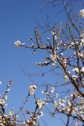 西洋美術館の梅の花