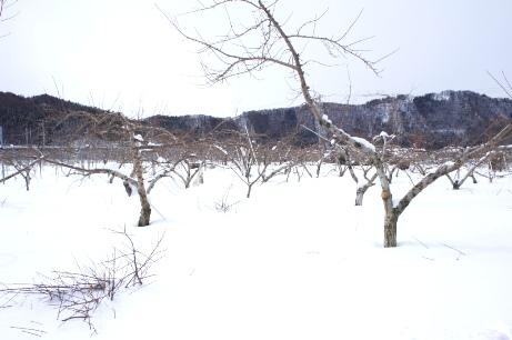 雪の林檎畑