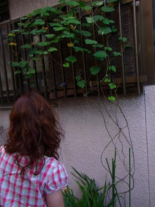 大阪のおじさん宅の緑化カーテン