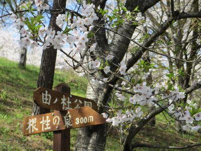 sakura_400.jpg