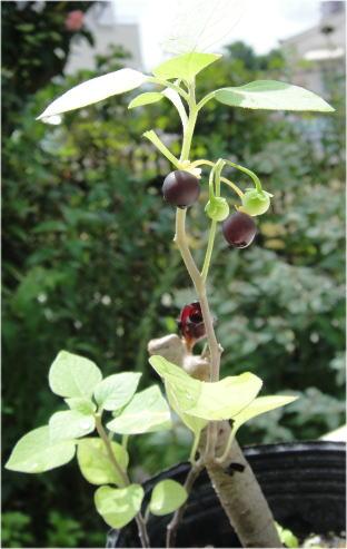 Solanum 'Black Pearl