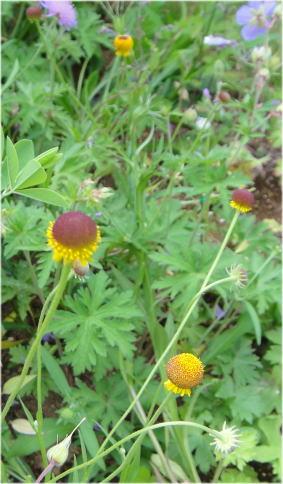Helenium Autumn Lollipop
