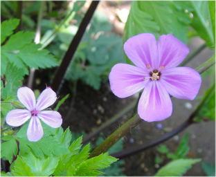 geranium rubescens