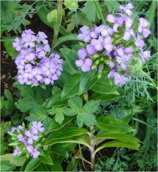 Dianthus japonicus 'Summer Lavender'
