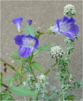 torenia aqua blue