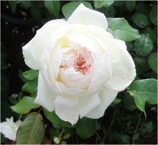 rosa bolero