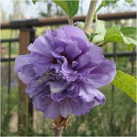 Hibiscus syriacus 'Shigyoku'