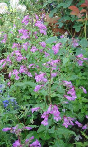 penstemon violet dusk