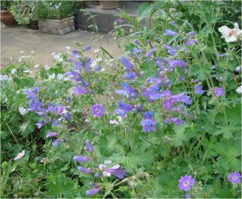 Penstemon 'Heavenly Blue