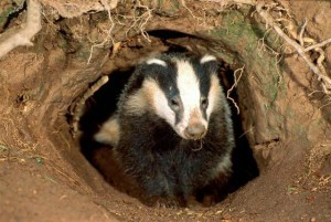 badger_attack-300x201.jpg