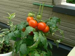 5月25日プチトマト