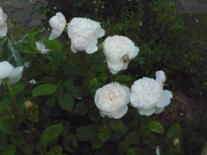 バラの植え替え1