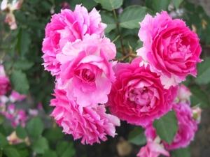 バラの植え替え2