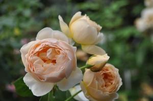 バラの植え替え9