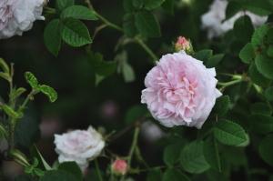 バラの植え替え11