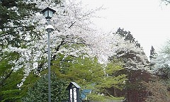 s東照宮桜 (2)