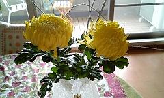 s我が家の菊