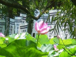 鶴岡八幡宮の蓮