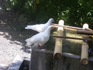 鶴岡八幡宮の鳩