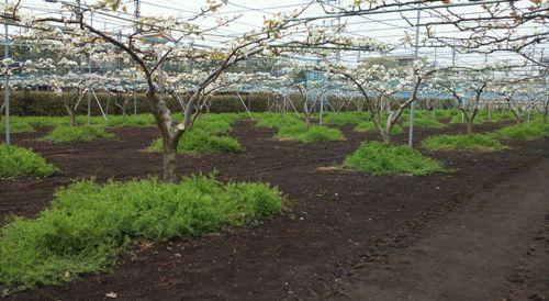 梨の花とカラスノエンドウ