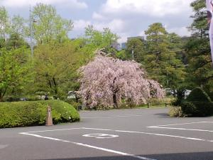 国立劇場 しだれ桜