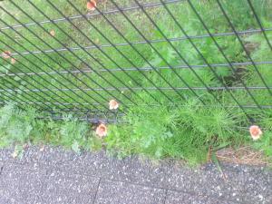 車庫脇に咲くナガミヒナゲシ