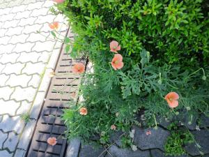 花壇の端のナガミヒナゲシ