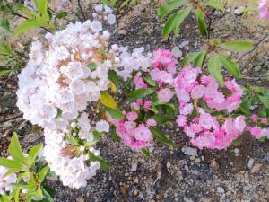 今年も咲いたカルミアの花