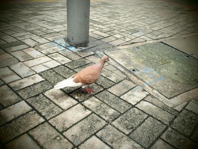 変わった色のハト