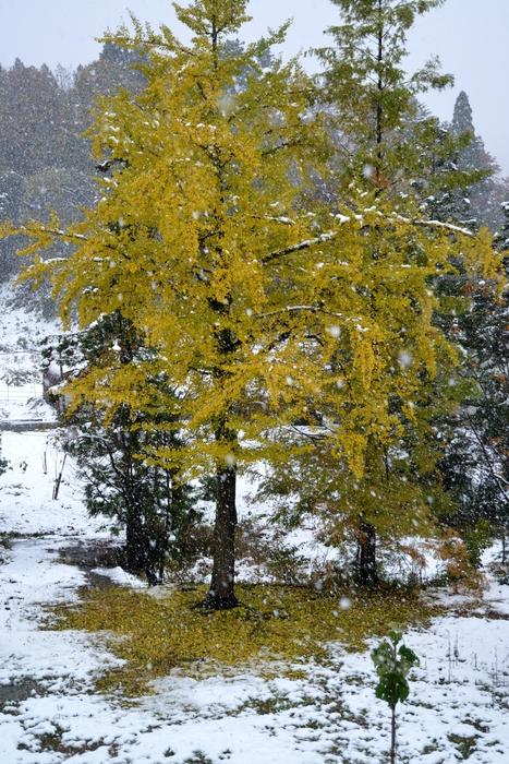 初雪の銀杏-1