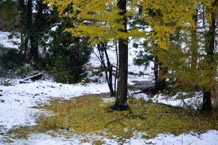 初雪と銀杏-2