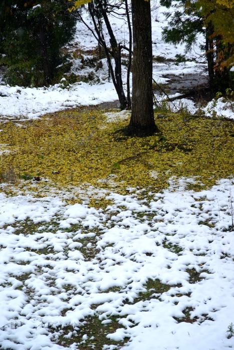 初雪と銀杏-3