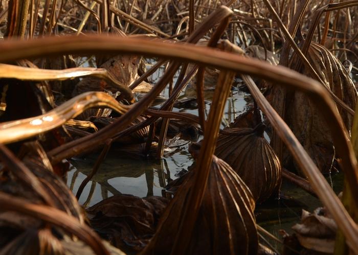 レンコン畑 冬へ-3