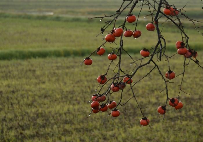 晩秋の柿-3
